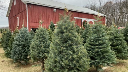 Survey: More buying real Christmas trees amid pandemic