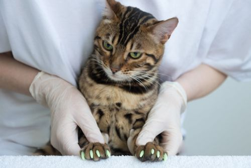 Are Claw Caps the Answer for Scratchy Cats? 2 Vets Weigh In on the Pros and Cons