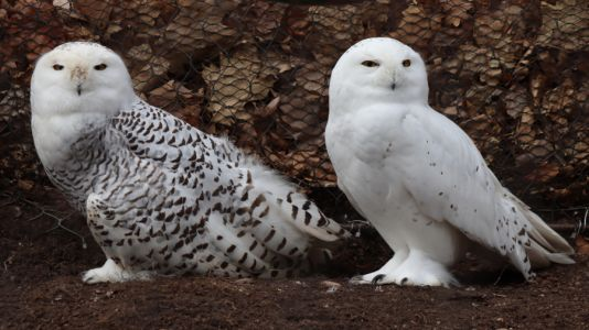 John Ball Zoo now home to 2 snowy owls